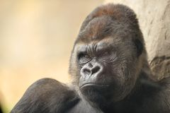 Portrait of gorilla Stock Images