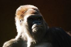 Portrait of gorilla Stock Photography
