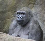 Portrait of gorilla ape. Portrait of female gorilla ape Royalty Free Stock Photography