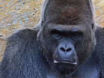 Portrait of gorilla Royalty Free Stock Photography