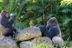 Portrait of gorilla couple Royalty Free Stock Images