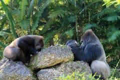 Portrait of gorilla couple Stock Photos