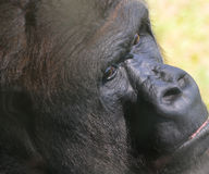 Portrait of a gorilla face Royalty Free Stock Images
