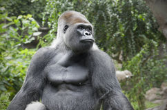 Portrait of a gorilla Royalty Free Stock Images