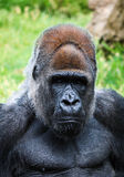 Portrait Of A Gorilla Male Stock Photos