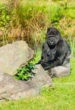Gorilla portrait Royalty Free Stock Image