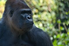 Portrait of a gorilla Stock Photography