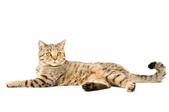 Portrait of a graceful cat Scottish Straight Royalty Free Stock Photography