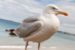 Portrait of a Graceful Seagull Stock Image