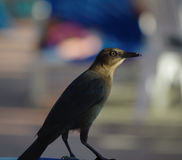 Portrait of a Grackle Stock Photos