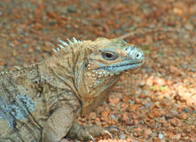 Portrait of Grand Cayman Blue Iguana. With red eye and sharp claw Stock Photography