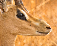 Portrait of a Grant´s Gazelle Stock Photo