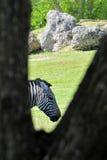 Portrait of a Grant's Zebra Stock Image