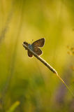 Portrait on the grass. Silver-studded blue butterfly sitting on the grass in the ambient light of the evening sun Stock Images