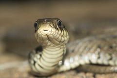 Portrait of  grass snake Stock Photos