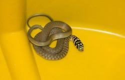 Portrait of grass snake Natrix natrix Royalty Free Stock Image