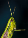 Portrait of a grasshopper Royalty Free Stock Photography