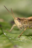 Portrait of grasshopper on green leaf Stock Photography