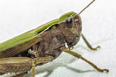 Portrait of a Grasshopper Stock Images