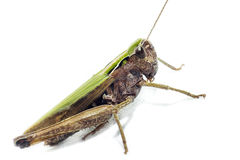 Portrait of a grasshopper Royalty Free Stock Image