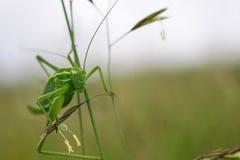Portrait of grasshopper  - macro Royalty Free Stock Image