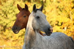 Portrait of gray akhal-teke in autumn. And brown horse behind it royalty free stock images