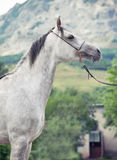 Portrait of gray arabian horse Stock Image