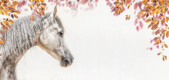 Portrait of gray arabian horse head on light background with autumn leaves and foliage stock image