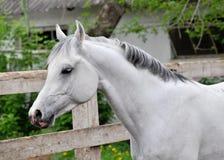 Portrait of gray arabian stallion royalty free stock photography