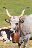 Portrait of gray big horned cow whith leather collar and big dec Royalty Free Stock Image