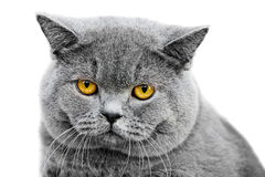 Portrait of gray british cat isolated Royalty Free Stock Photography