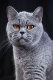 Portrait of a gray British shorthair cat Royalty Free Stock Photo