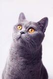 Portrait of gray british shorthair cat. On white background Stock Photo