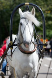 Portrait of gray carriage driving horse Royalty Free Stock Photos