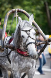 Portrait of gray carriage driving horse Stock Images