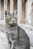 Portrait of gray cat Royalty Free Stock Photos
