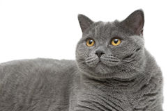 Portrait of gray cat (breed Scottish straight) on a white backgr Royalty Free Stock Image