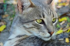 Portrait of a gray cat Stock Images