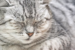 Portrait of a gray cat close up Stock Photo