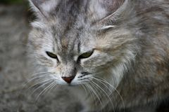 Portrait of a gray cat. Stock Photo