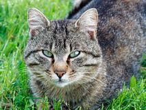 Portrait gray cat grass. Portrait gray cat in the grass Royalty Free Stock Photo