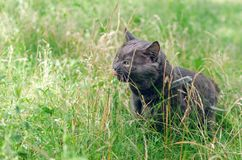 Portrait of a gray cat in the grass.  royalty free stock photography