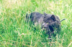 Portrait of a gray cat in the grass.  stock image