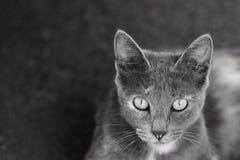 Portrait of gray cat Stock Photo
