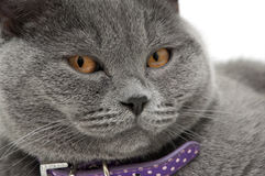 Portrait of a gray cat with a purple collar Stock Images