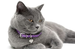 Portrait of a gray cat in a purple collar. white background. Royalty Free Stock Photo