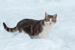 Portrait of a gray cat in the snow.  stock photography