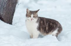 Portrait of a gray cat in the snow.  royalty free stock photo
