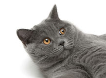 Portrait of a gray cat on a white background Stock Photography