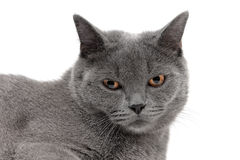 Portrait of a gray cat on a white background Royalty Free Stock Photography